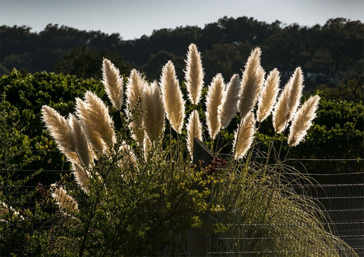 how to get rid of pampas grass roots