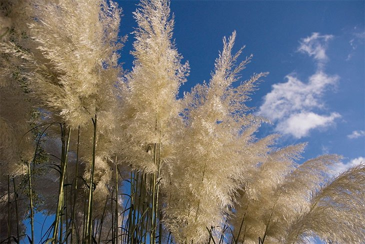 how to get rid of a pampas grass plant