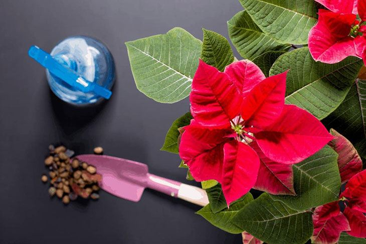 how often should i water a potted poinsettia