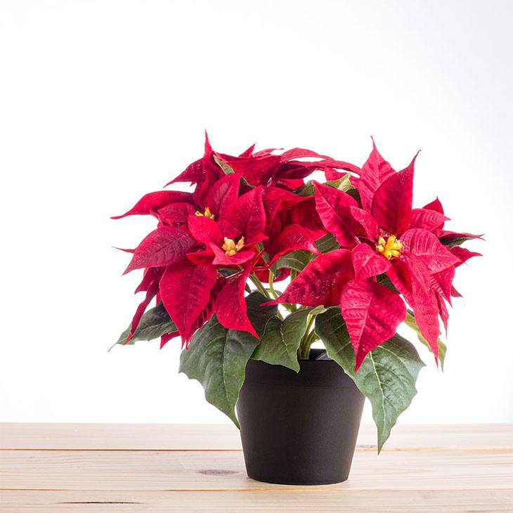 how often should you water a poinsettia plant