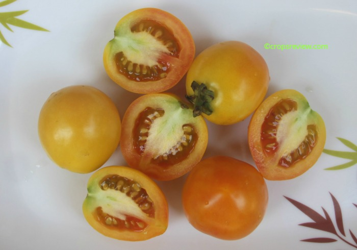 fruits of tomatoes