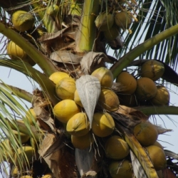 Pistillate flowers of coconut develop into one-seeded fruits