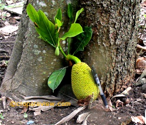 Sometimes fruits develop from the base of the trunk of jackfruit close to the ground