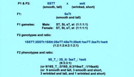 Fig. 2. Illustration showing that each gene pair (Ss and Tt) transmitted characters according to the Law of Segregation regardless of the presence of the other gene pair