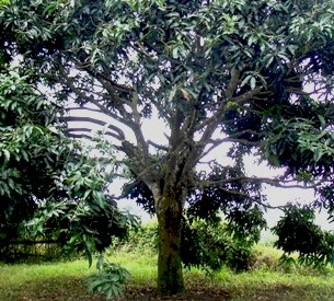 12 years since this mango tree was top-grafted and the wounds had completely healed.