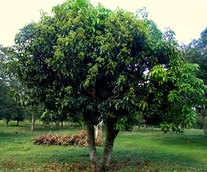 Three years from topgrafting and this mango tree flowered after chemical floral induction