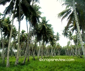Closely-planted coconuts solved the problem of interplant shading by bending away from each other to disperse their tops thus allowing each tree sufficient light exposure