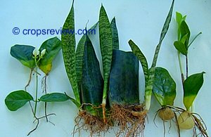 Sampagita, snake plant, and ZZ plant can be propagated using leaf cuttings