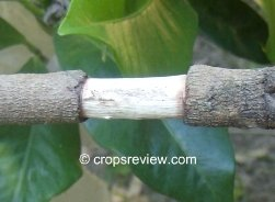 Girdled stem ready for wrapping with rooting medium